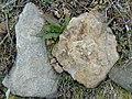 Crinoideos (La Laguna de Lago de Babia).002 - Cabrillanes (Leon).jpg
