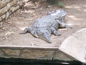 Orinoco crocodile - Crocodylus intermedius