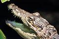 Crocodylus moreletii - Tiergarten Schönbrunn.jpg
