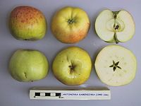 Cross section of Antonovka-Kamenichka, National Fruit Collection (acc. 1949-166).jpg