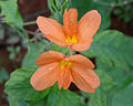 Crossandra infundibuliformis (Fire cracker) at Madhurawada 01.jpg
