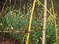 Crotalaria juncea (5592882632).jpg