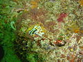 Crowned nudibranch at Cow and calf DSC08968.JPG