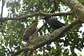 Cs Goshawk Lb Crow Faceoff DSC 3412.jpg