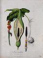 Cuckoo-pint (Arum maculatum); spathe and spadix with hairs a Wellcome V0043968.jpg