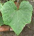 Cucurbita argyrosperma T2016PL1 - hoja marmoreada o manchada (mottled leaf).JPG