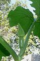 """Cucurbita pepo """"zapallo de Angola"""" semillería La Paulita - polinización (mascVE3-femVE1) - 0 - pimpollo femenino dos días antes de la antesis (apertura floral).JPG"""