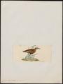 Cursorius burchelli - 1820-1860 - Print - Iconographia Zoologica - Special Collections University of Amsterdam - UBA01 IZ17200303.tif