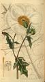 Curtis's Botanical Magazine, Plate 3073 (Volume 58, 1831).png