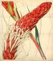 Curtis's Botanical Magazine, Plate 4309 (Volume 73, 1847).png