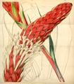 Curtis's Botanical Magazine, Plate 4309 (Volume 73, 1847).png