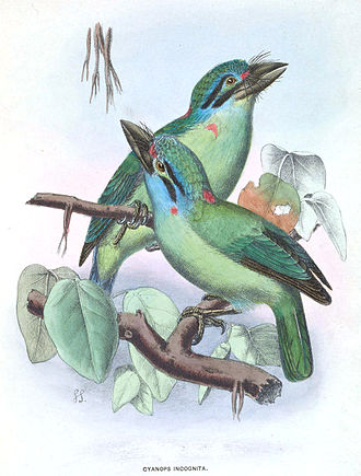 Moustached barbet - Image: Cyanops Incognita