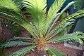 Cycas revoluta 10zz.jpg