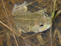Cyclorana platycephala (eastern), male, dorsal view in habitat.png