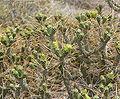 Cylindropuntia ramosissima 13.jpg