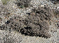 Cylindropuntia ramosissima 8.jpg
