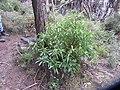 Cymopolia barbata (L.) J.V.Lamour. (AM AK238843-3).jpg