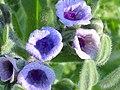 Cynoglossum creticum EnfoqueFlores 2011-4-16 CampodeCalatrava.jpg