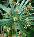 Cyperus alternifolius - Flickr - Dick Culbert.jpg