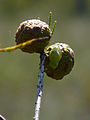 Cypress fruit with surprise.jpg