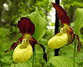 Cypripedium calceolus ziedai1.jpg