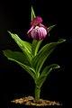 Cypripedium macranthos Sw., Kongl. Vetensk. Acad. Nya Handl. 21 251 (1800) (47936179642).jpg