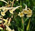 Cyrtanthus mackenii, skerm, Kirstenbosch NBT.jpg