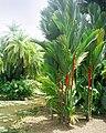 Cyrtostachys renda - San Juan Botanical Garden.jpg