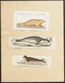 Cystophora cristata - 1700-1880 - Print - Iconographia Zoologica - Special Collections University of Amsterdam - UBA01 IZ21100147.tif