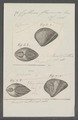 Cytherea flexuosa - - Print - Iconographia Zoologica - Special Collections University of Amsterdam - UBAINV0274 078 01 0057.tif