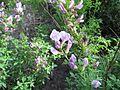 Cytisus purpureus 01.JPG