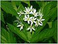Czosnek niedźwiedzi-Allium ursinum 04.jpg