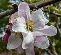 Dülmen, Hausdülmen, Blüten der -Dülmener Rose- -- 2015 -- 5697.jpg