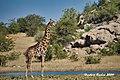 """DSC07076.jpeg """"Berg"""" - Giraffe (50705469662).jpg"""