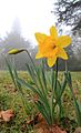 Daffodil flowers -Ickworth Park, near Bury St Edmunds, Suffolk, England-2March2012.jpg