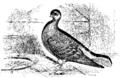 Darwin Domestic 123.png