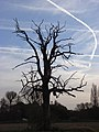 Dead tree, Charvil - geograph.org.uk - 278971.jpg