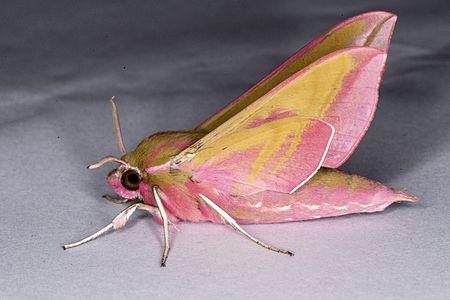 Deilephila elpenor02(js).jpg