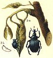 Deporaus betulae björkrullvivel3.JPG