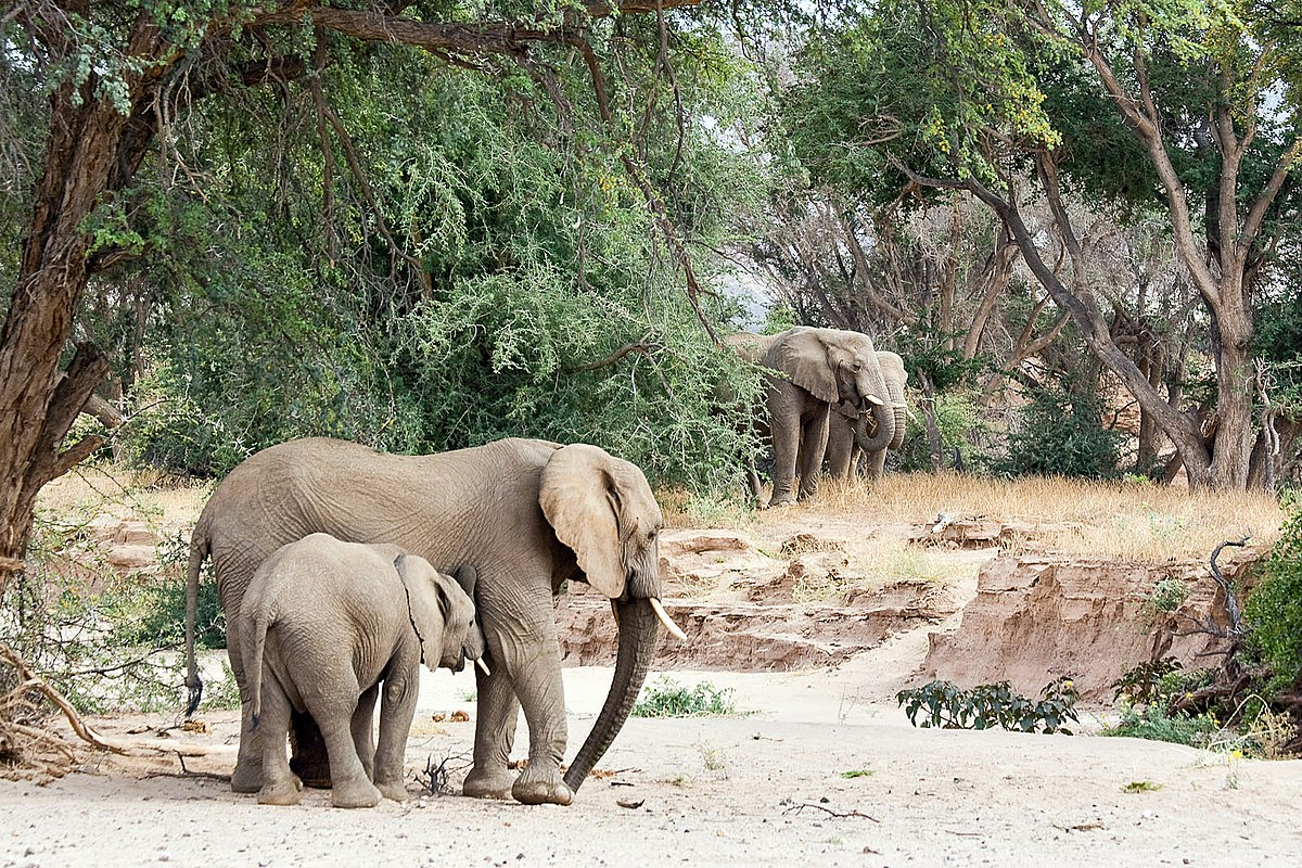 desert elephant wikipedia