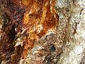 Detalle tronco del carbayo.JPG