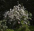 Deutzia gracilis C.jpg