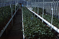 Dicksons Florist greenhouse beds 017.jpg