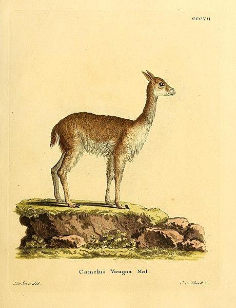 File:Die Säugthiere in Abbildungen nach der Natur, mit Beschreibungen (Plate CCCVII) (7257686254).jpg