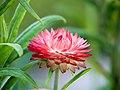Die Strohblume, lat. Helichrysum bracteatum, Xerochrysum bracteatum, Bracteantha bracteata 11.jpg