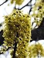 Dillenia pentagyna flowering by Dr. Raju Kasambe DSCN1362 (20).jpg