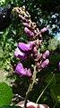 Dioclea violacea Mart. ex Benth. (15262792730).jpg