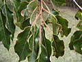 Diospyros virginiana L. (AM AK330354-1).jpg