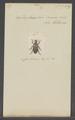 Diphucephala - Print - Iconographia Zoologica - Special Collections University of Amsterdam - UBAINV0274 020 03 0039.tif