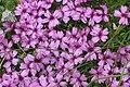 Dixi-Silene acaulis flowers.jpg